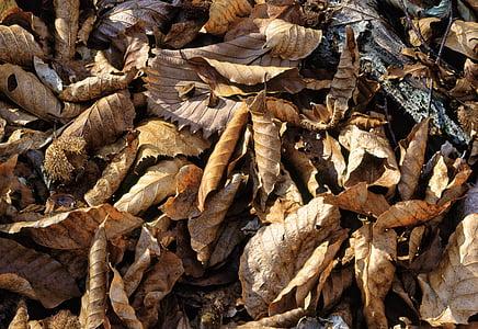 folhas caídas, floresta de faias, área de Património Mundial Shirakami-sanchi, tarde de outono, Japão, Outono, folha