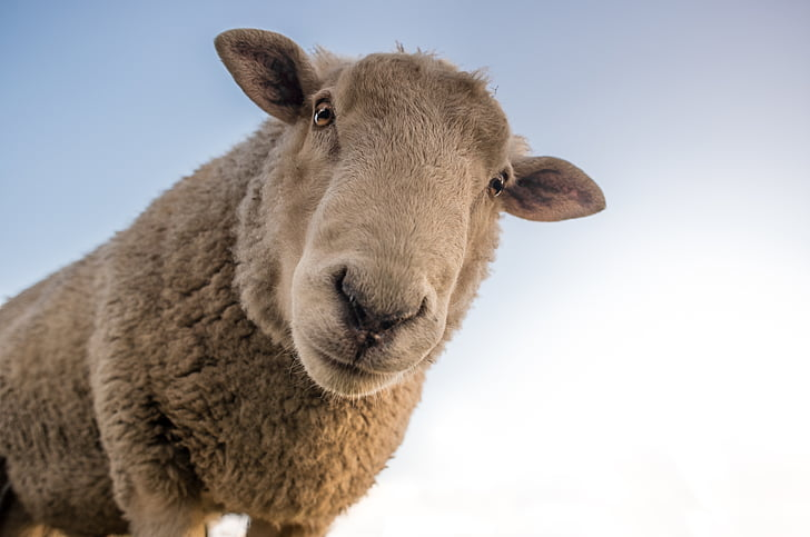 動物, かわいい, 家畜, 羊