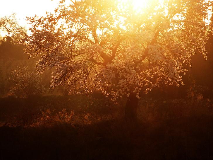 Príroda, Gold, letné, strom, Mandľový strom