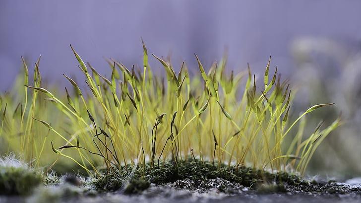 molsa, floració molsa, macro, natura, Estufes