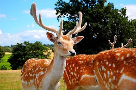 hươu, gạc, động vật, động vật, Thiên nhiên, động vật có vú, động vật hoang dã
