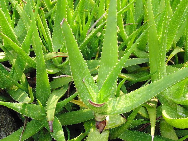aloés, planta suculenta, suculentas, planta medicinal, plantas, natureza, medicina popular