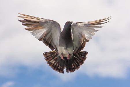 piccione, volo, ramoscello, di volo, ali spiegate, uccello, un animale
