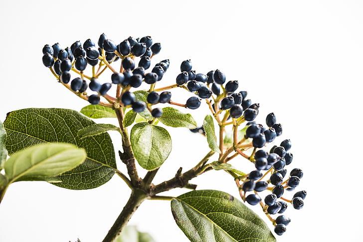 paars, vruchten, stam, plant, blad, natuur, groene kleur