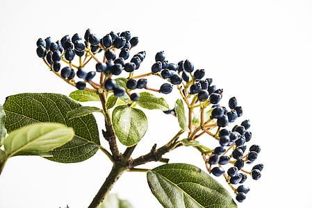 porpra, fruites, tija, planta, fulla, natura, color verd