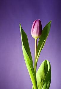 лале, цвете, Блум, розово, цветя, Пролет, природата