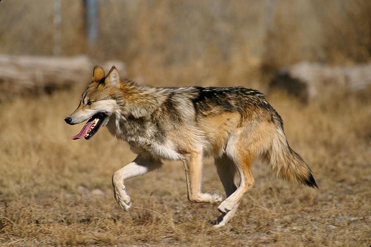 wolf, mexican wolf, canis lupus baileyi, canis lupus, canidae, el lobo, predator