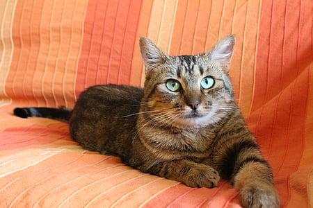 котка, котка с тигрови шарки котка, Зелената котка очи, котка легнало