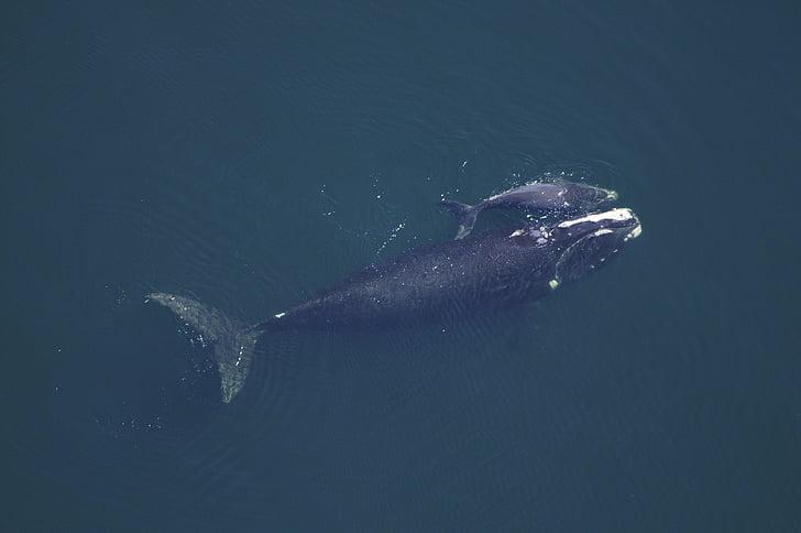 Whale Ko, kalven, havet, Ocean, vatten, Underwater, simning