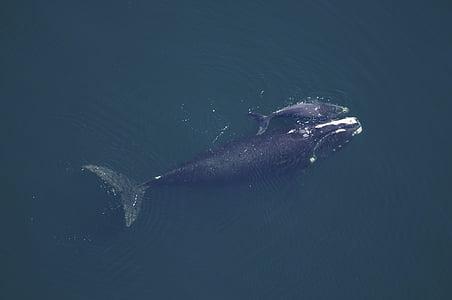 valis govs, teļš, jūra, okeāns, ūdens, zemūdens, peldēšana