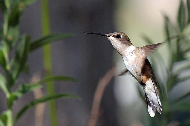 Hummingbird, burung, penerbangan, satwa liar, melayang, hewan, paruh