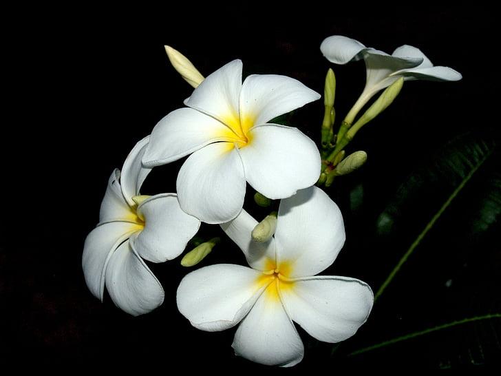 Plumeria, Nærbilde, treet, dekorasjon, blomster, petal, gul