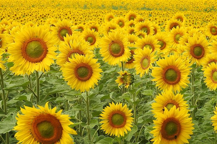 Hoa hướng dương, Blossom, nở hoa, màu vàng, mùa hè, Helianthus, trường hướng dương
