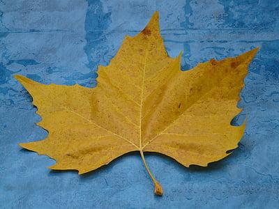 maple leaf, yellow, fall color, poplar leaf, leaf, leaves, black poplar leaf