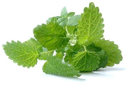 rastlín, Leaf, listy, Zelená, tmavozelená, Príroda, pesto