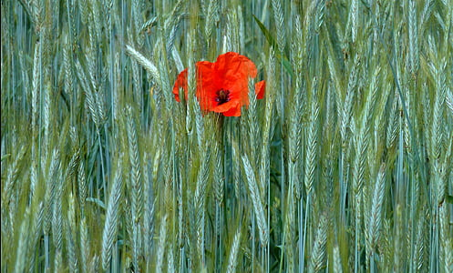 poppy, klatschmohn, cornfield, fields, edge of field, cereals, sky