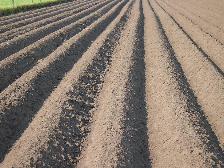 l'agricultura conreables, conreu de patata, aardappelrug