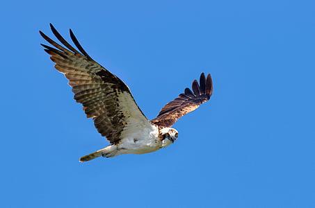 valkoinen, ruskea, Eagle, huiman, sininen, taivas, päivällä