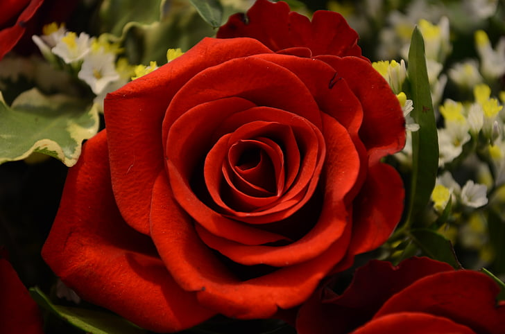 tõusis, Ystävänpäivä, Armastus, Romantika, punane, punane roos, õis