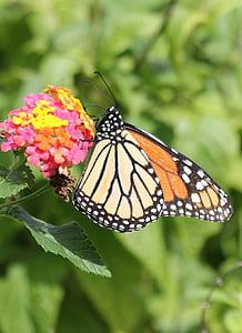 монарх, пеперуда, Ориндж, жълто, насекоми, природата, насекоми