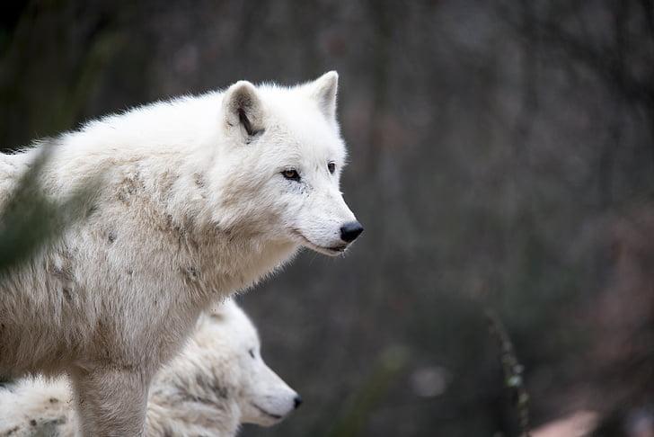 white wolf, wolf, nature, predator, wildlife, head, animal