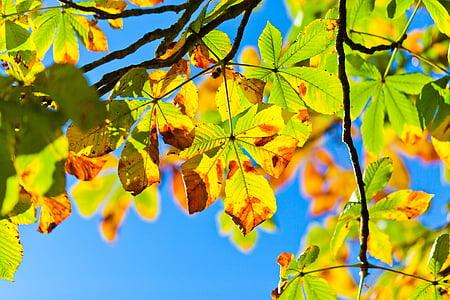 hobune kastanipuu, Aesculus, Buckeye puu, Sügis, sügisel, lehed, lehed