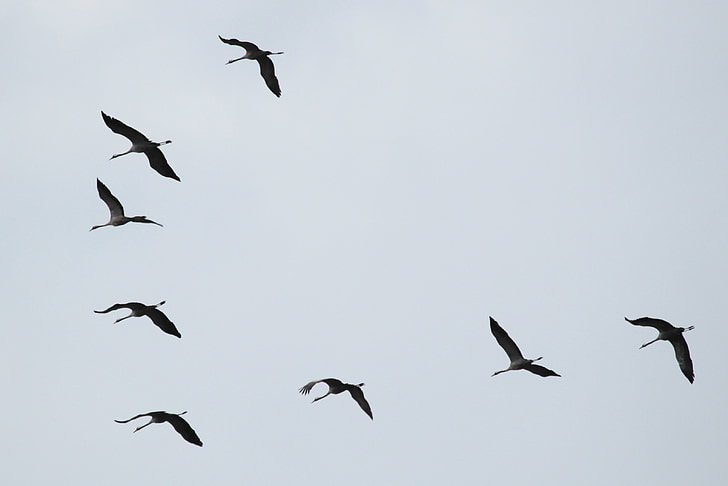 grues, ramat d'ocells, aus migratòries, ocells, animal, formació de vol, món animal
