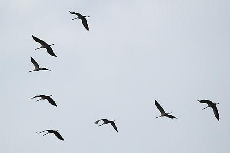 Nosturit, lintuparvi, muuttolintujen, Linnut, eläinten, Flying muodostumista, eläinkunnan