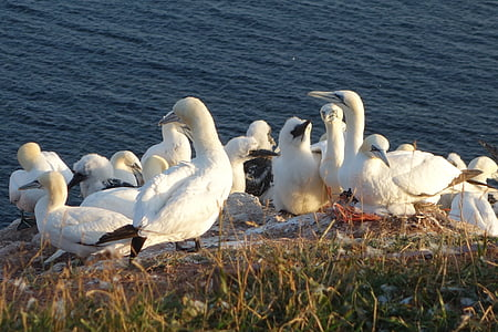 northern gannet, birds, swarm, bill, water bird, migratory birds, nature