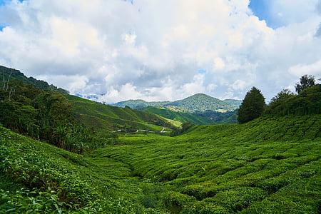 te, camp, verd, fons, les plantacions de te, te jardí, petit arbre