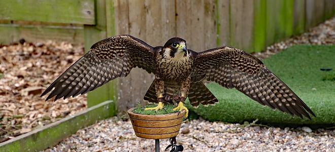Muuttohaukka, Falcon, lintu, Predator, Raptor, saalis, Wildlife