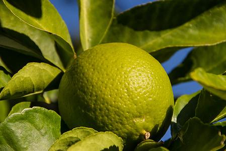 citron vert, fruits, arbre, feuilles, vert, de plus en plus, mûres
