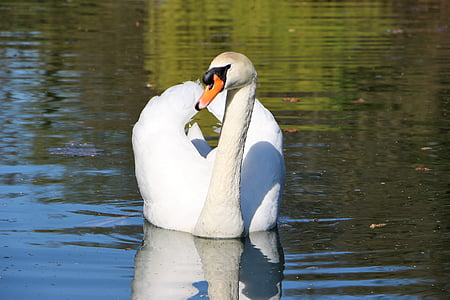 mute swan, swan, water bird, swans, white, nature, nature swan