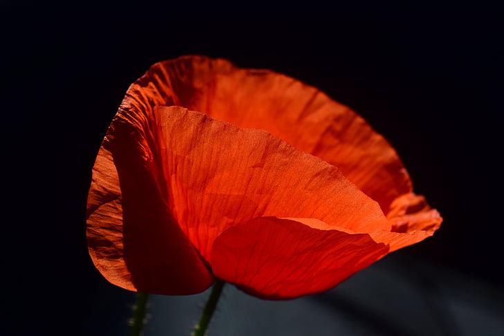 poppy, poppy flower, klatschmohn, flower, red poppy, red, blossom