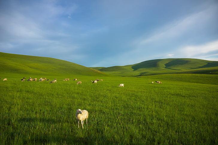 pradaria, ovelhas, Mongólia interior, Prado, natureza, grama, colina