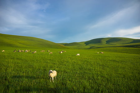 prairie, sheep, inner mongolia, meadow, nature, grass, hill