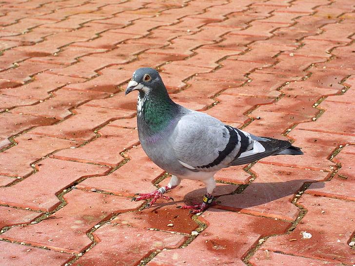 гълъб, птица, животните