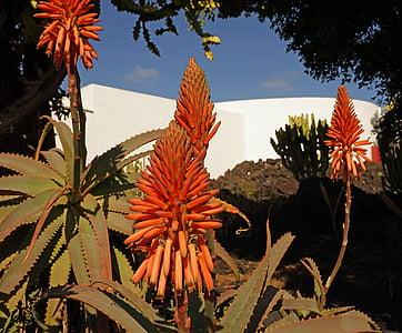 Aloe vera, cvijeće, asphodeloideae, prava aloja, tropska, svjetlo, cvat