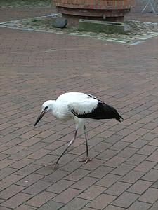 bird, birds, aquatic, animals, longnose