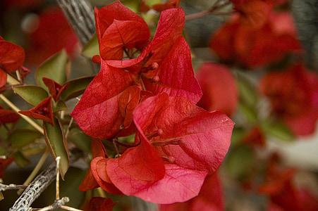 Bougainvillea, virág, Blossom, szirom, kert, virágzó, lombozat