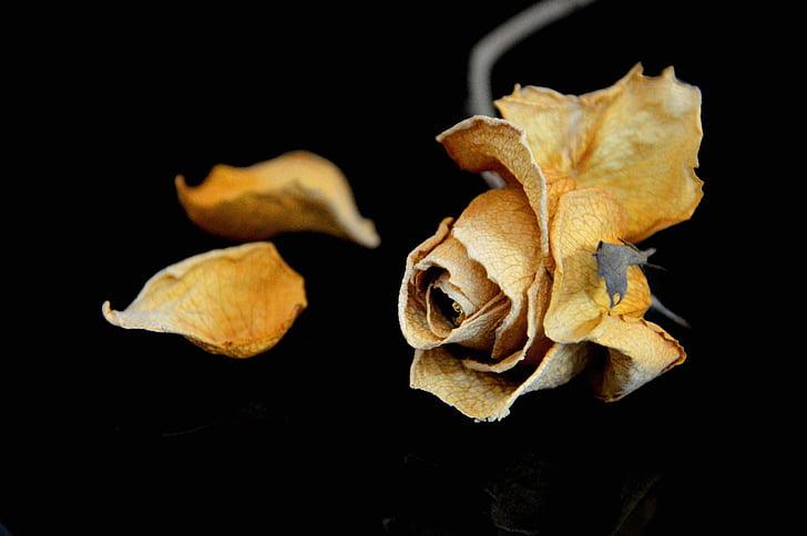 Rosa, sec, trist, groc, flor, natura, jardí