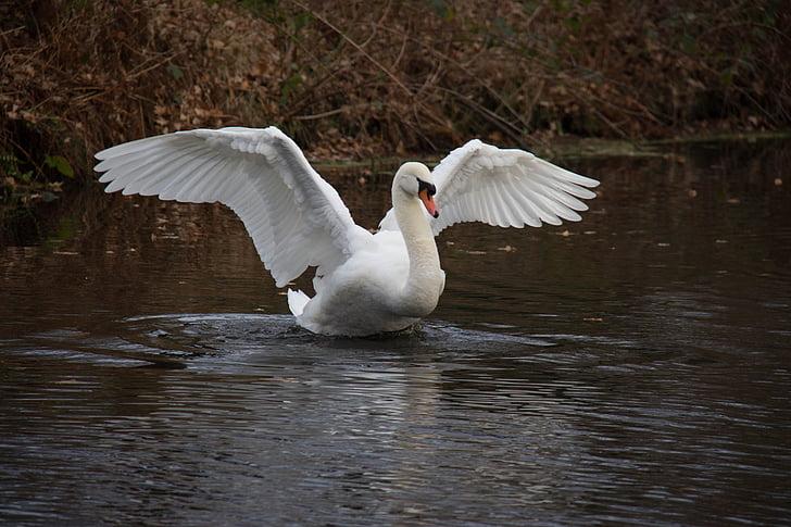 лебед, вода, Есен, природата, птица, лебеди, водолюбивите птици