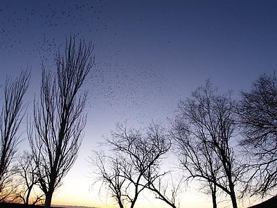capvespre, ramat, ocells, arbres