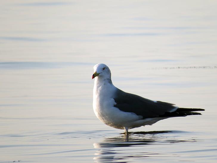 martı, deniz kuşları, denizin üzerinde martı, Yeni