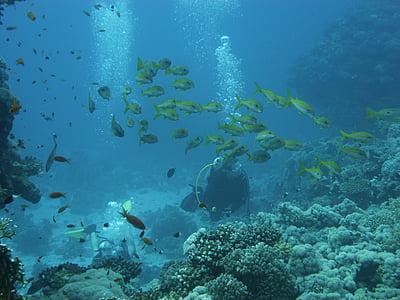 ronioci, greben, ronjenje, koraljni, pod vodom, more, priroda