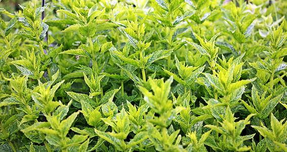 mete, zelene mete, rastlin, zeliščnih rastlin, zdravilna zelišča, aromo, vrt