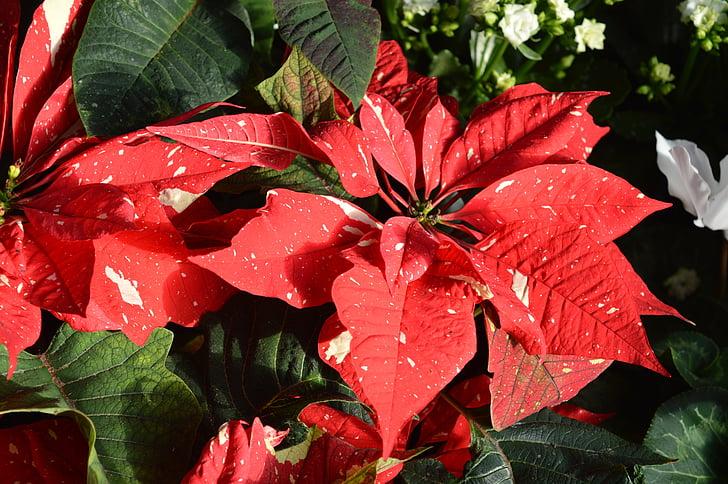 flor de Pasqua, flor, vermell, Nadal, festiu, Nadal, temporada