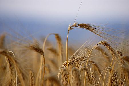 nisu, küps, saagi, suvel, Viljapõllu, teravilja, põllukultuuride