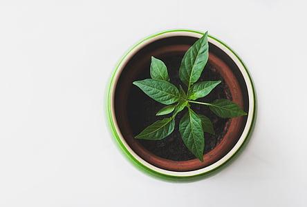 verd, planta, marró, blanc, ceràmica, olla, testos