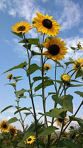 Sun flower, kollane, suvel, taim